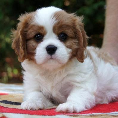 cutest puppies for sale 25 best ideas about puppies for sale on baby dogs baby kittens