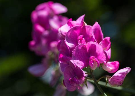 fiore pisello odoroso pisello odoroso juzaphoto
