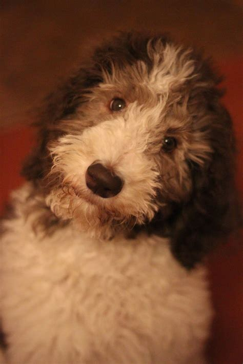 parti poodle lifespan 159 best images about dogs on
