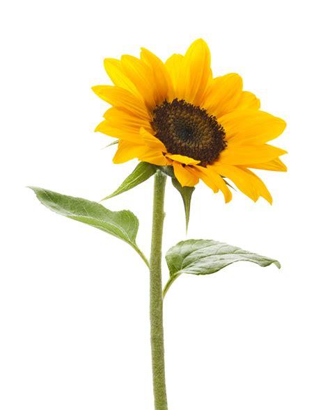 no sun plants sunflower