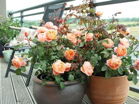coltivazione in vaso ricanti in vaso