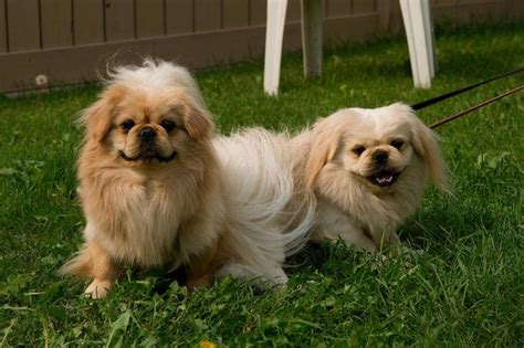 pekingese pictures puppies pictures and information