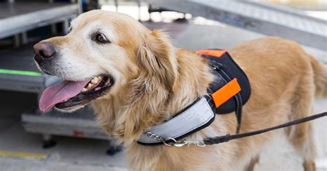 autism service dogs learn about finding and acquiring the assistance partner