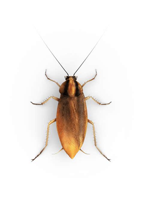 Kakerlake Klein by Small Roaches Raid 174 Bug Id Raid 174 Brand Sc Johnson