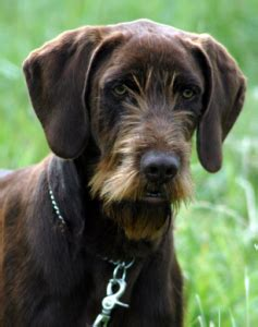 pudelpointer puppies more info about the pudelpointer puppies temperament and breeders