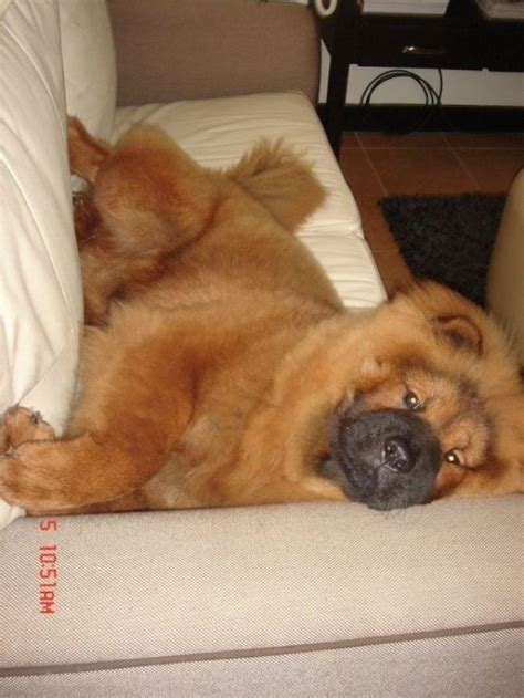 dog misses couch 54 best images about animals that i want on pinterest