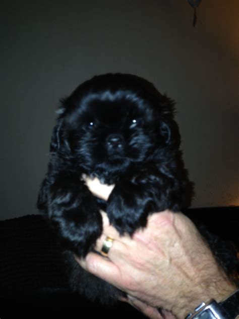 black shih tzu puppies for sale black shih tzu puppies prestatyn denbighshire pets4homes