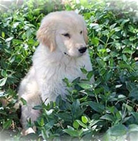 golden retriever puppies prescott az golden retriever breeders arizona xanadu golden retrievers golden retriever