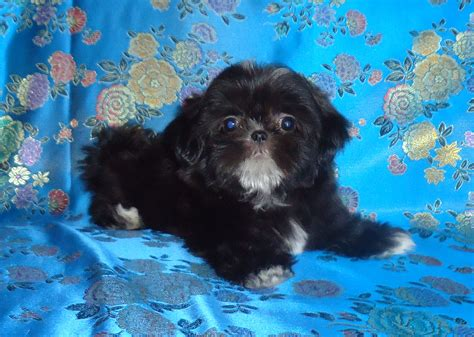 sumora shih tzu past puppies