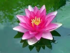 La Flor De Lotus Ranking De Las Flores Hermosas Listas En 20minutos Es