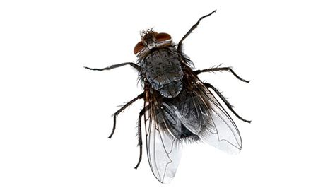 get rid of house flies difference between a water bug and a cockroach local exterminator