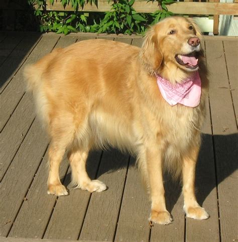 evergreen golden retrievers happy endings evergreen golden retriever rescue