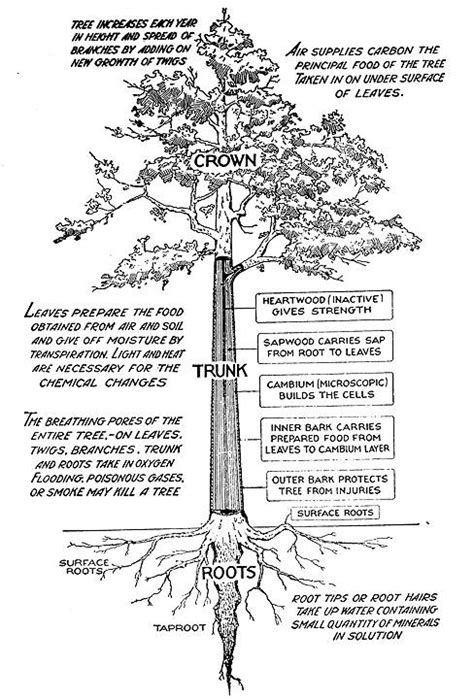tree leaf diagram how to identify a tree by its parts tree bark barking f