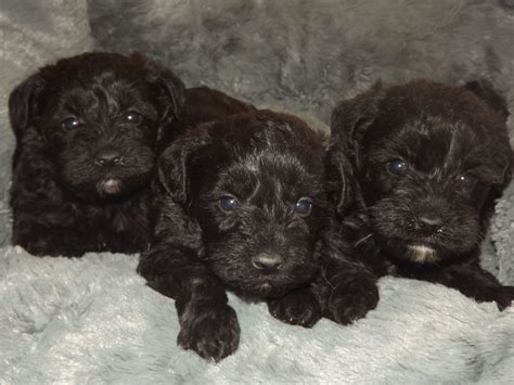 miniature schnoodle puppies mini schnoodle information new style for 2016 2017