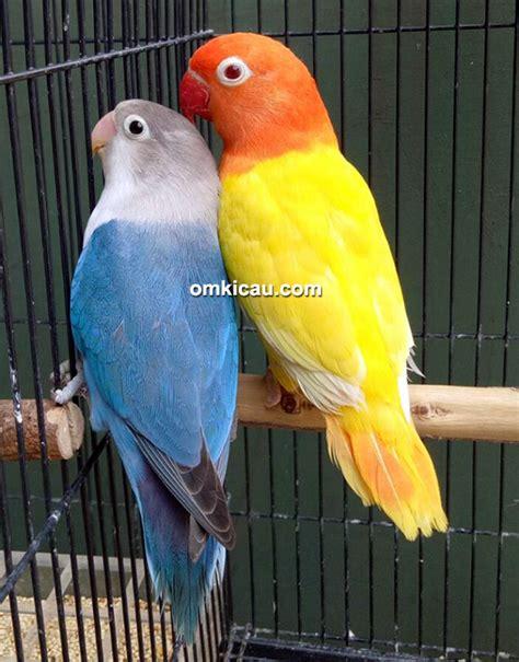 Tepat Jodohin Lovebird gambar tips mencetak lovebird biola pemula bersama om tony