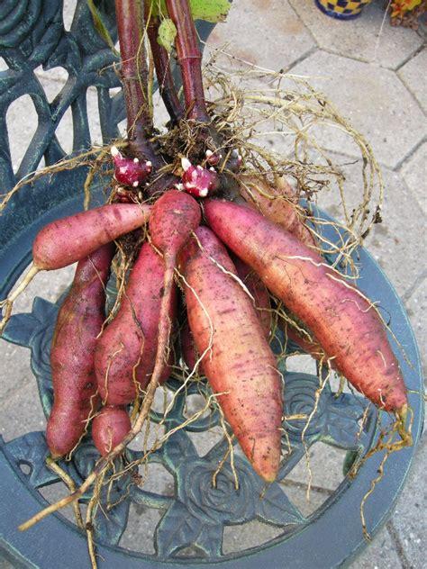 Teh Yacon yacon potato bean smallanthus sonchifolius zoom s
