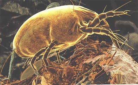 bed mites pictures dust mites asthma and how ventilation can help reduce the