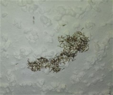 Moth Worms On Ceiling by Swarm Of Tiny White Worms With Black Heads On Ceiling
