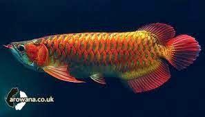 Pakan Ikan Hias Untuk Burung macam macam makanan pakan untuk ikan arwana aneka hewan