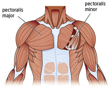 diagram of chest muscles weight lifting chest exercises that work your pecs