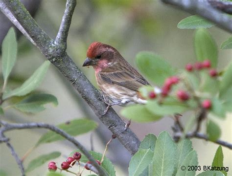 california house finch california house finch 28 images california house finch photos ofo
