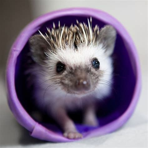 pygmy hedgehog how to care for pygmy hedgehogs