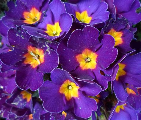 google purple and yellow flowers on pinterest