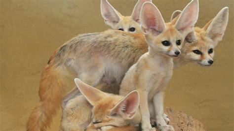 imagenes de animales del desierto 5 animales del desierto del sahara youtube