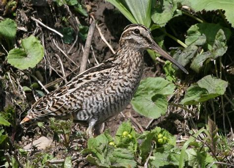 what is snipe in woodworking bird club image database wood snipe 187 gallinago