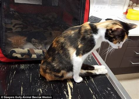 why do cats swing their tails nsw man charged with animal cruelty after cat was smashed
