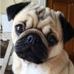 25 best ideas about pug on pinterest pugs pug puppies and cute pug