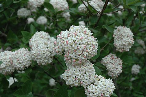 fragrant plants list fragrant viburnum tree form viburnum x carlcephalum
