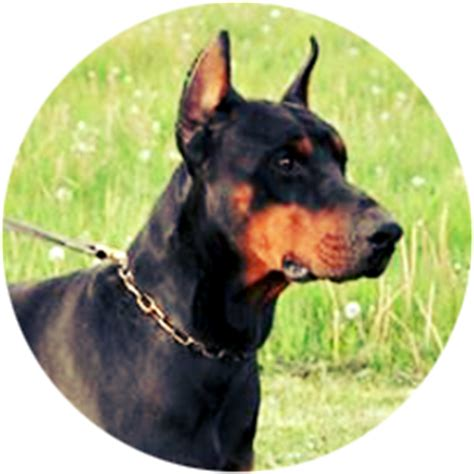 doberman puppies for sale in chicago puppies for sale in illinois at miller kennel