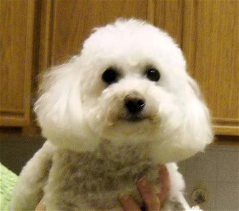 lifespan of bichon poodle poochon bichon poodle