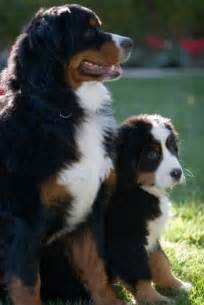 Breeders bernese mountain dog 120 breeders bernese mountain dog
