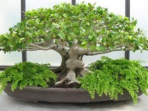 bonzi tree bonsai tree testing