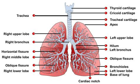 Beschriftung Lunge by Lungs Anatomy Stock Image Image Of Illustrations