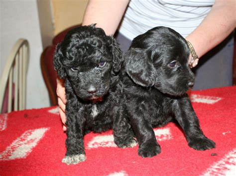portuguese water dogs portuguese water wisbech cambridgeshire pets4homes
