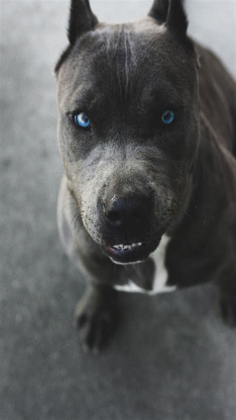 blue eyed pitbull puppies 12 realities that new pit bull owners must accept