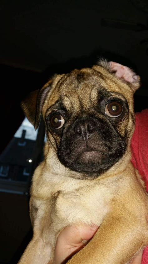 sheffield pugs pug sheffield south pets4homes