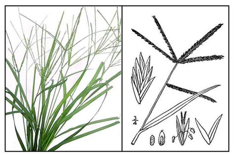 Grass Medicinal Uses by Paragis Eleusine Indica Wire Grass Philippine