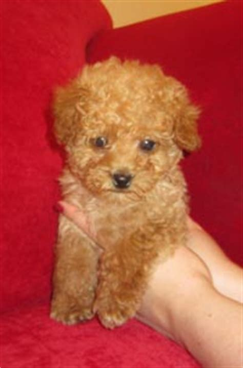 pictures of different types of poodles toy poodle