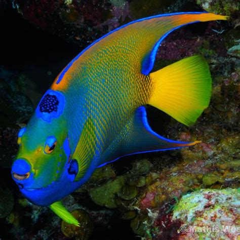 fish colors this is my favorite fish to spot in the caribbean the