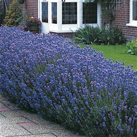 lavender seed munstead english lavender herb seeds