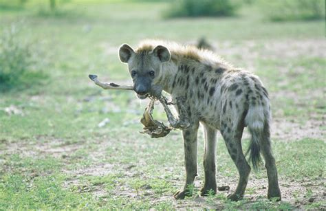 is a hyena a spotted hyena
