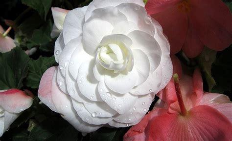 fiori per chiedere scusa i fiori per chiedere scusa al proprio partner
