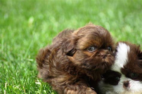 black and brown shih tzu puppies shih tzu puppies brown www pixshark images