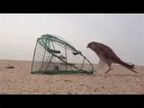 find out how to catch birds of prey youtube