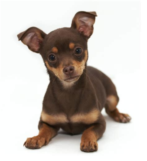 chi puppy and brown rat terrier chihuahua puppy png 2 comments