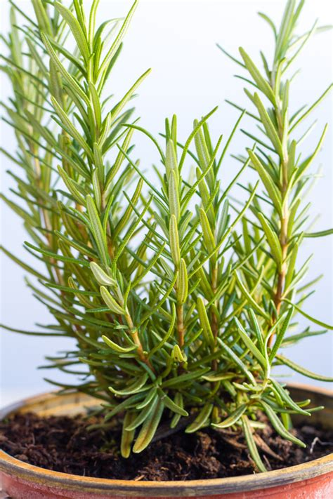 grow rosemary indoors horticulturehorticulture